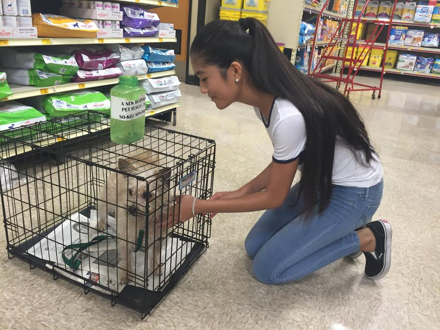 While+volunteering+at+A+New+Beginning+Pet+Rescue+Center%2C+junior+Charlene+Nguyen+enjoys+placing+%E2%80%9CHandsome%E2%80%9D+in+his+crate+at+the+PetSmart+store.+Nguyen+was+responsible+for+the+animal%E2%80%99s+needs+and+made+sure+people+knew+the+right+information+about+him.